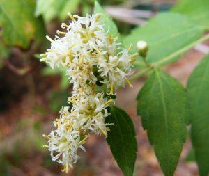 Calea zacatechichi lucid dreaming herb