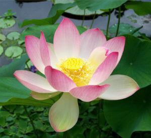 Lotus, Nelumbo nucifera