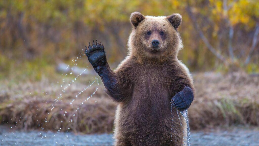 Waving Bear in dream