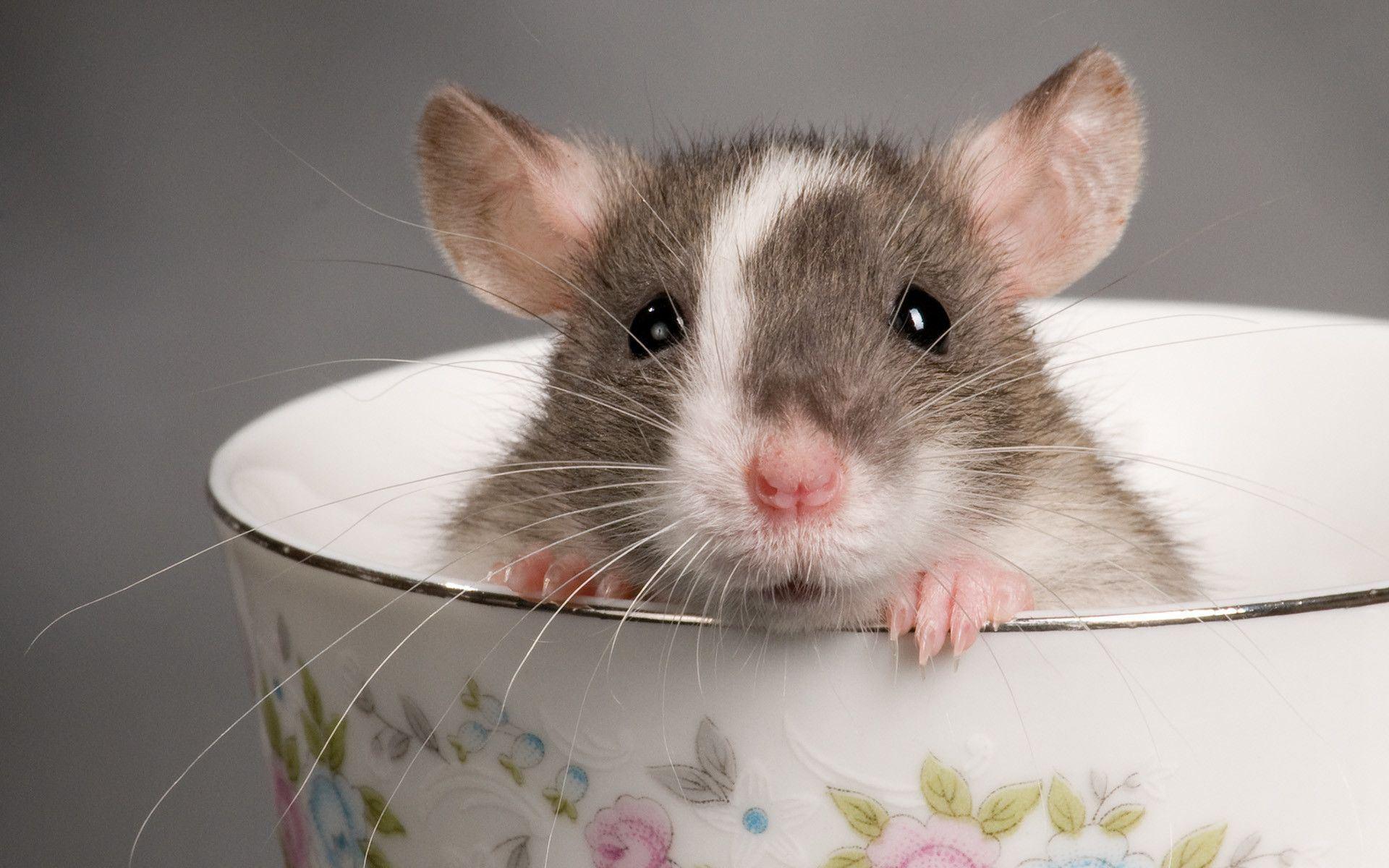 Rat in Dream
